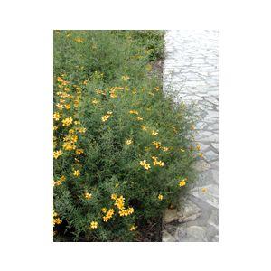 Tagetes lemmonii (T. palmeri)