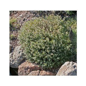 Teucrium chamaedrys (T. x lucidrys)