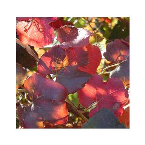 Vitis californica 'Roger's Red'