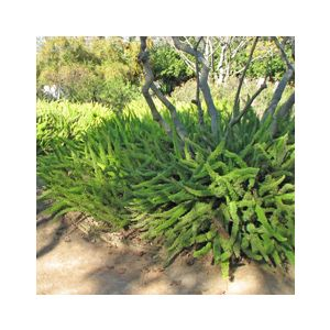 Asparagus densiflorus 'Meyers' (A. meyeri)(A. myersii)