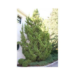 Juniperus chinensis 'Torulosa' ('Kaizuka')
