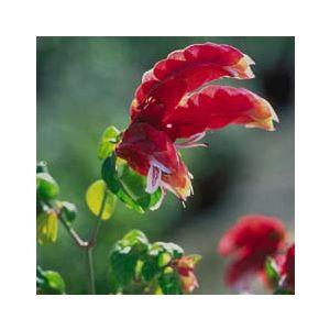 Justicia brandegeeana (Beloperone guttata)