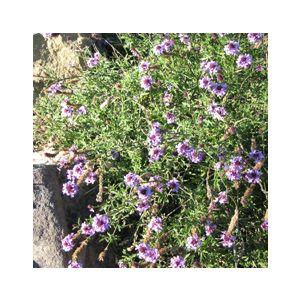 Verbena lilacina 'De La Mina'