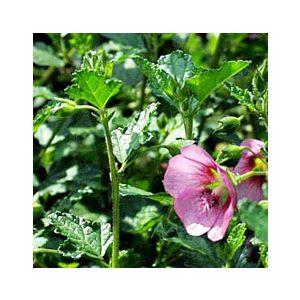 Anisodontea 'Tara's Pink'