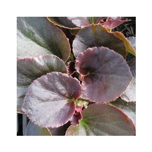 Begonia semperflorens Bronze Leaf 'Red' ('Vodka')