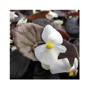 Begonia semperflorens Bronze Leaf 'White' ('Whiskey')