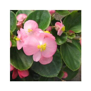 Begonia semperflorens Green Leaf 'Pink'
