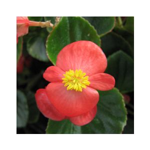 Begonia semperflorens Green Leaf 'Red'