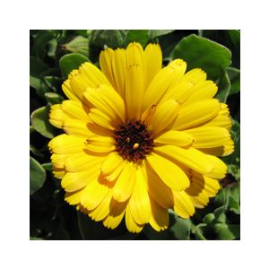Calendula officinalis Dwarf 'Yellow'