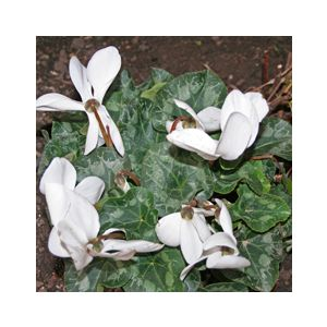 Cyclamen persicum 'Assorted Varieties'
