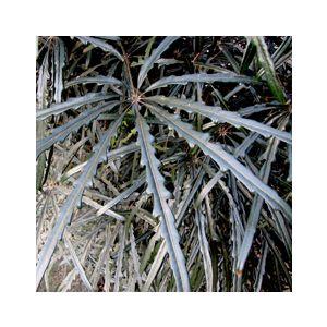 Dizygotheca elegantissima (Schefflera e.)(Aralia e.)