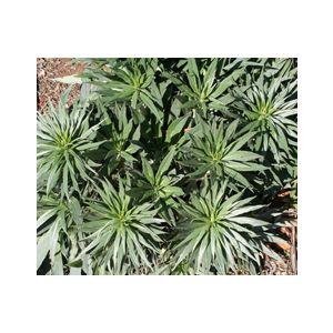 Echium candicans (E. fastuosum)