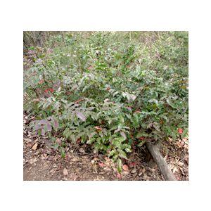 Mahonia aquifolium (Berberis a.)