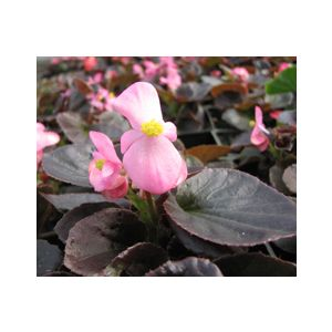 Begonia semperflorens Bronze Leaf 'Mixed Colors'