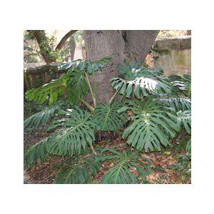Monstera deliciosa (Philodendron pertusum)