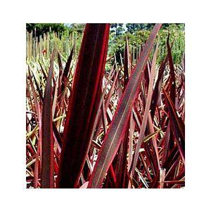 Phormium 'Red-Dark Green'