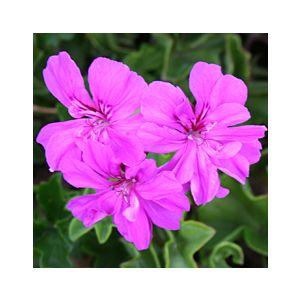 Pelargonium peltatum 'Assorted Varieties Double Flower'