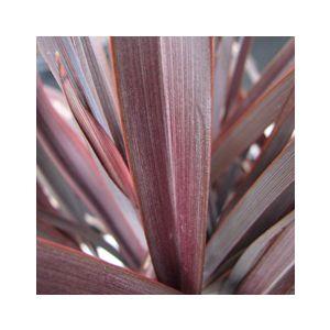 Phormium tenax 'Amazing Red'