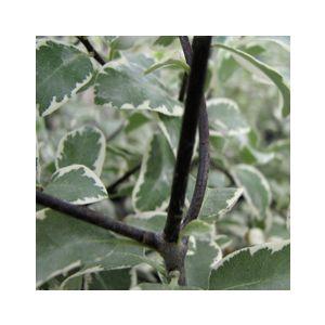 Pittosporum tenuifolium 'Marjorie Channon' (P. nigricans)