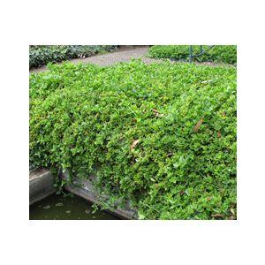 Aptenia cordifolia 'Red Apple' (Mesembryanthemum cordifolium)