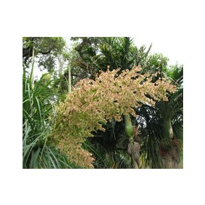 Beaucarnea recurvata (Nolina r.)