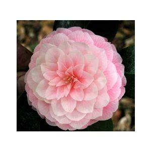 Camellia japonica 'Assorted Varieties' Espalier