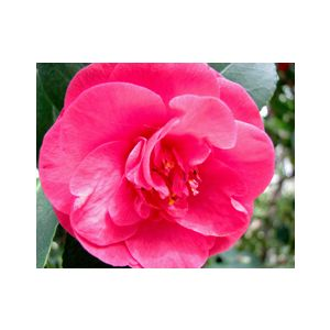 Camellia japonica 'Covina' Espalier