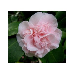 Camellia japonica 'Debutante' Espalier