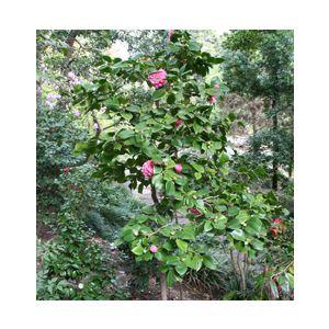 Camellia Japonica U0027Debutanteu0027 Patio Tree