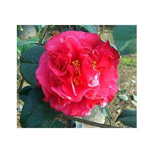Camellia japonica 'Kramer's Supreme' Patio Tree