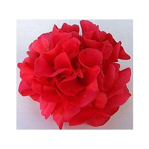 Camellia japonica 'Kramer's Supreme' Espalier