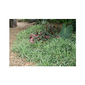 Chlorophytum comosum 'Variegatum' (C. capense)