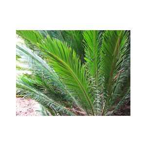 Cycas revoluta (prices vary)