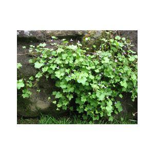 Cymbalaria muralis (Linaria c.)