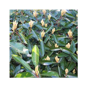 Eriobotrya deflexa 'Coppertone' Multi