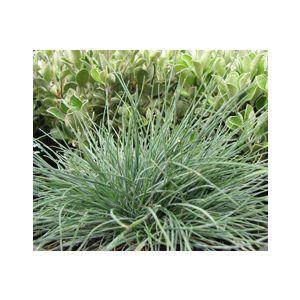 Festuca glauca (F. cinerea)(F. ovina g.)