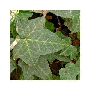 Hedera helix Staked