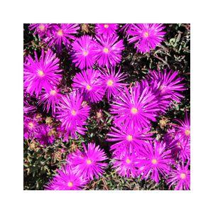 Lampranthus productus