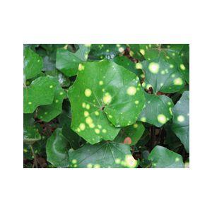 Ligularia tussilaginea 'Aureo-maculata' (Farfugium japonicum)