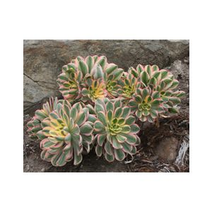 Aeonium 'Sunburst' ('Tricolor')