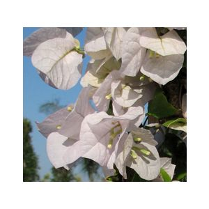 Bougainvillea 'Mary Palmer's Enchantment' Espalier