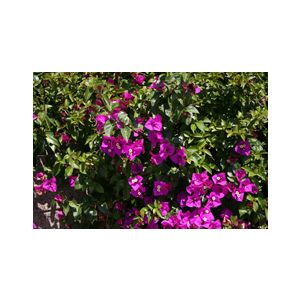 Bougainvillea 'Purple Queen' Bush - Monrovia