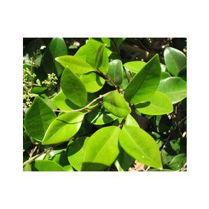 Ligustrum japonicum 'Texanum' 5-Foot Pyramid - Monrovia