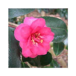 Camellia sasanqua 'Shishi-Gashira'