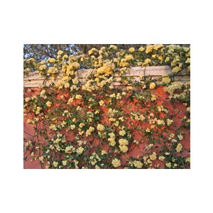 Rosa banksiae 'Lutea' Climbing