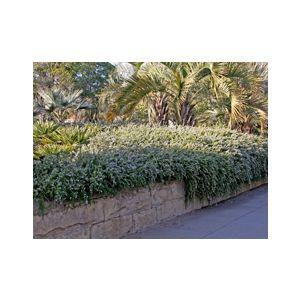 Rosmarinus officinalis 'Lockwood de Forest' ('Santa Barbara')('Forestii')