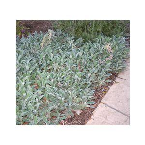 Stachys byzantina (S. lanata)(S. olympica)