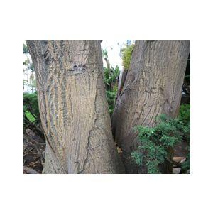 Erythrina caffra Multi (E. constantiana)