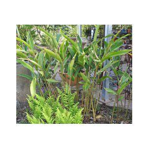 Alpinia zerumbet (A. nutans)(A. speciosa)
