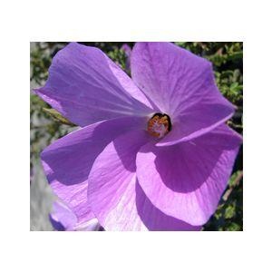 Alyogyne huegelli (Hibiscus h.)